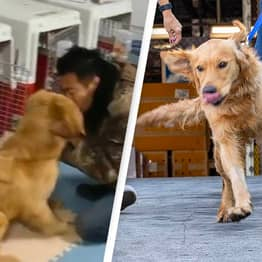 Golden Retrievers Rescued From Dog Meat Trade Meet New Owners For First Time