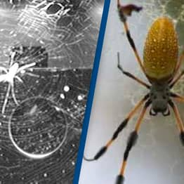 Spiders In Space Station Can Weave Webs Without Gravity
