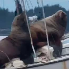 Pair Of Enormous Sea Lions Half Sink Someone's Boat