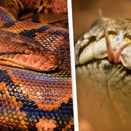 Americans Told To Eat Wild Pythons To Get Rid Of Them
