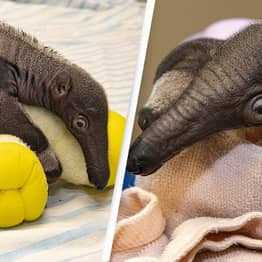 Giant Anteater Defies Odds Of Survival After Mother Rejects Him At Zoo