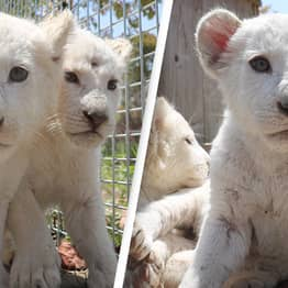 Extremely Rare White Lion Quadruplets Born At Zoo In China