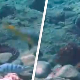 Octopus Filmed Randomly Punching Fish 'Out Of Spite' While Hunting