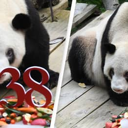 World's Oldest Panda Known As 'Hero Mother' Has Died Aged 38