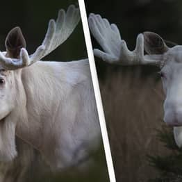 Rare White Moose Pictured Roaming Countryside In Incredible Photos