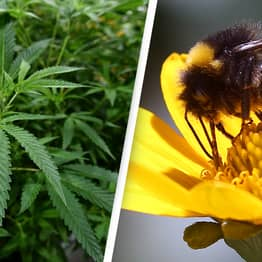 Bees Love Cannabis And It Helps Save Their Dying Populations, Study Finds