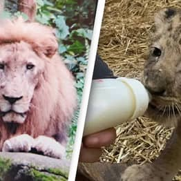 Lion Named Mufasa Dies From Procedure Used To Create Cub Simba