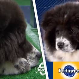Dog Called Chunky Monkey Steals The Show At Puppy Bowl After Immediately Falling Asleep