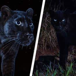 Extremely Rare Wild Black Leopard Spotted In Africa