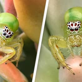 Green Polka-Dot Spider Captures Hearts After Being Found In Woman's Garden
