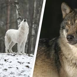 Idaho Approves Plans To Kill 90% Of The State's Wolves