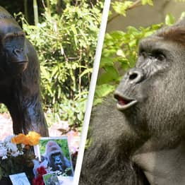Harambe Image To Be Sold As NFT On 5th Anniversary Of His Death