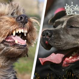 Small Dogs Officially More Aggressive Than Bigger Ones, Study Finds