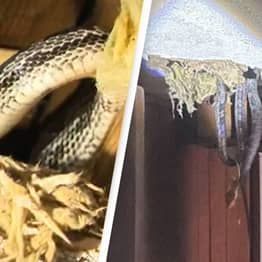 Snakes Leak Through Ceiling After Tenants Complain To Landlord