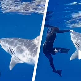Shark Diver Explains What You Should Do If Tiger Shark Approaches You