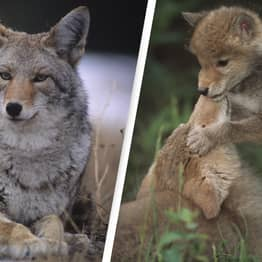 Alabama Residents Can Now Legally Kill Coyotes At Night