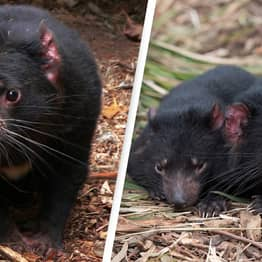 Tasmanian Devils Born On Mainland Australia For First Time In 3,000 Years