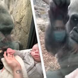 Gorilla Shares Adorable Moment With Mother Carrying Her Baby At Zoo