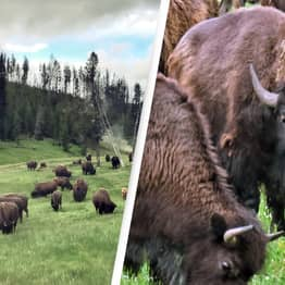More Than 45,000 People Sign Up To Kill Hundreds Of Bison In Grand Canyon National Park Hunt