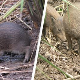 World's Tiniest Pig At 10 Inches Tall, Once Thought Extinct, Now Returning To The Wild