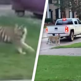 Tiger On The Loose In Suburban Neighbourhood Almost Shot By Neighbour
