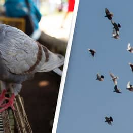 Up To 10,000 Prize Pigeons Mysteriously Disappear During Race