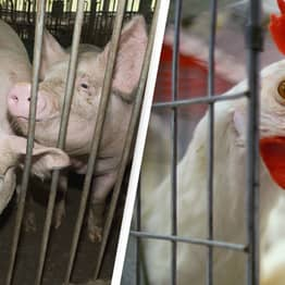 Farm Animals To No Longer Be Kept In Cages, EU Rules