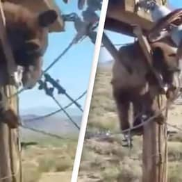 Huge Bear Causes Chaos After Getting Stuck On Power Pole