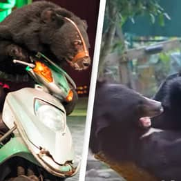 Vietnamese Bears Can Finally Enjoy Retirement As Circus Makes Crucial Changes