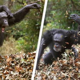 Scientists Witness Chimps Killing Gorillas For The First Time Ever