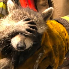 Firefighters Say 'Embarrassed' Racoon Has Nothing To Be Ashamed Of