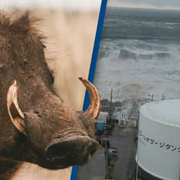 Radioactive Boar-Pig Hybrids Being Created In Fukushima Wasteland, Scientists Claim