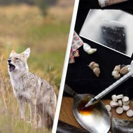 Expert Fears Coyotes Have Ingested Drugs After Three Attacks In Four Days
