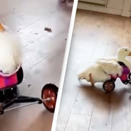 Disabled Duck Learning How To Walk Again With Special Wheel Chair