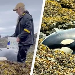 Amazing Video Shows How People Saved A 20ft Orca That Was Stuck On Shore Rocks