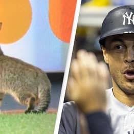 Cat Causes Absolute Mayhem After Invading New York Yankees Game
