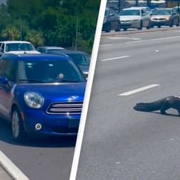 Alligator Causes Traffic Jam By Casually Walking Across The Road In Florida