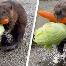 People Cannot Get Enough Of This Beaver Carrying Home Its Afternoon Snack