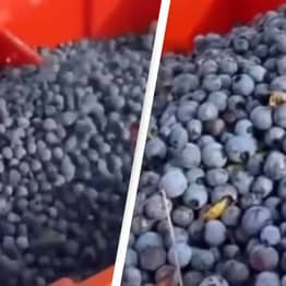 People Baffled After Discovering How Blueberries Are Really Picked