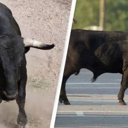 Outrage After Escaped Bull 'Rammed To Death With Car'
