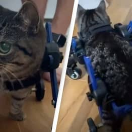Incredible Video Shows Disabled Cat's First Steps
