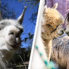 Llama Antibodies Are Stopping Covid Infections In Clinical Trials