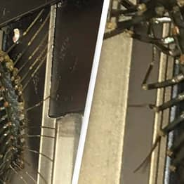 Horror As Man Discovers Two-Foot Centipede In His House