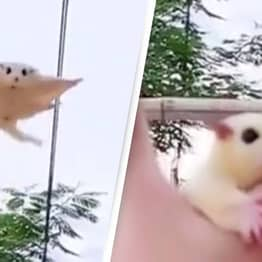 Video Of Sugar Glider Flying In For A Hug Has Captivated The Internet