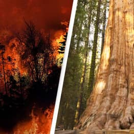 Firefighters Take Extreme Measures To Protect World's Largest Tree As Wildfire Blaze Creeps In
