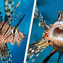 Dangerous And Deadly Lionfish Captured Off The UK Shores For The First Time