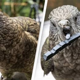 Disabled Parrot With Half Beak Uses Pebbles To Preen Itself