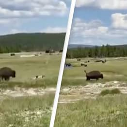 Shocking Moment Woman Avoids Bison Attack By Playing Dead Captured On Camera