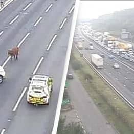 Cow Causes Chaos On The Motorway
