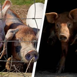 Farms Set To Kill And Burn 100,000 Pigs Due To Post-Brexit Workers Shortage